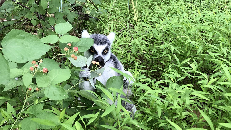 lemur hiding in brush